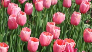 Tulipas cor de rosa, tipo de menton — Vídeo Stock