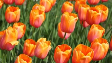 Orange tulips, Yuri Gagarin sort — Stock Video