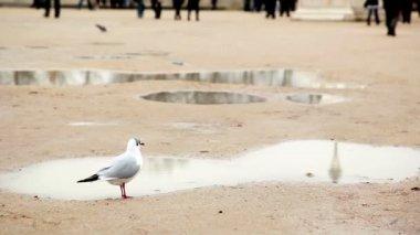 Fågel går igenom sanden mot bakgrund av vattenpölar — Stockvideo