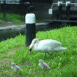 Swan with little cygnets are walking along bank of river — Stock Video