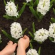 Stock Video: Woman's hands gently corrected leaves of hyacinth flowers