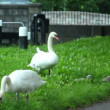 Two swans and cygnets are nibbling grass — Stock Video