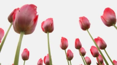 Closeup of pink tulips — Vídeo Stock