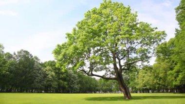 Grüner baum steht auf lichtung im stadtpark — Stockvideo