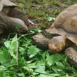Two big old turtles eat leaves in grass at zoo — Stock Video