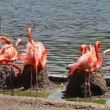 ストックビデオ: Group of flamingos have rest and play near pond