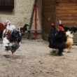 Domestic chickens in village with turkey — Stock Video