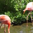 ストックビデオ: Two flamingos go on water near plants in zoo