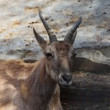 Stock Video: One adult antelope that chew in zoo