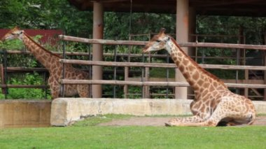Two giraffes eat at zoo and near them walking zebra — Stock Video