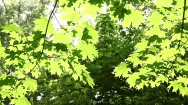 Maple leaves swaying in the wind lit by the sun — Stock Video
