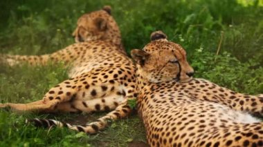 Two adult cheetah lies on green grass at zoo — Stock Video