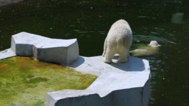 Lední medvěd plavání a další chůze na platformě poblíž jezera — Stock video
