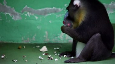 Baboon sits in front of wall and eats in zoo — Stock Video