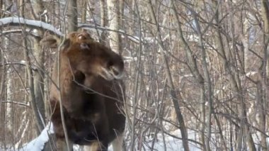 Elk stand and eat buds from shrubs at woods in winter — Stock Video
