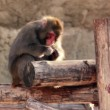 Snow monkey sits on wooden logs and eats — Stock Video #29831467