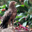 Predatory bird hawk sits on stone in zoological garden — Stock Video