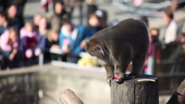 Snow monkey sits on wooden log and hold toy car — Stock Video
