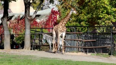 Giraffe and zebra in pen zoo, walk by grass — Stock Video