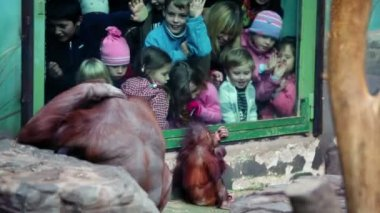 Children watch on female orangutan with baby sit in front of fencing glass in Moscow ZOO — Stock Video