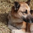 Shepherd lies on hay — Stock Video