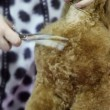 Groomer use scissors to cut dogs hair — Stock Video #30656527