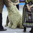 Jury watch teeth of dog of bergamasco shepherd breed at contest — Stock Video #30656819