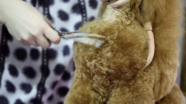 Groomer use scissors to cut dogs hair — Stock Video