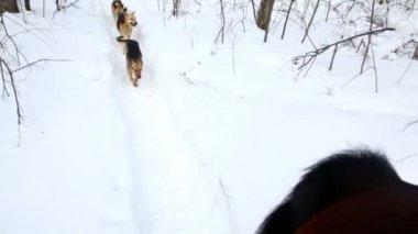 Drei hunde laufen hinter pferd bei wintertag — Stockvideo