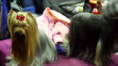 Groomer makes hairdo of yorkshire terrier breed and other one stand near on leash — Stock Video