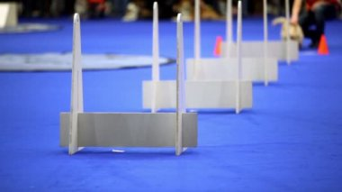 Little dog of terrier breed run and jump over barriers on agility competition — Stock Video