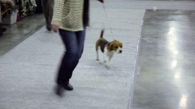 Women run with dog breed of artuazskaya hound on leashes at contest — Stock Video