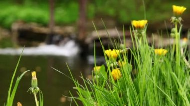 Dandelions on green grass, focus on flower at background of waterfall — Stock Video