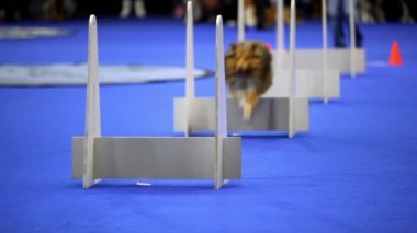 Little dog of shelti breed run and jump over barriers on agility competition — Stock Video