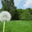 Dandelion at background of forest and road — Stock Video #32341991