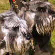 Two dogs of breed mittelschnauzer walk on lawn with green grass — Stock Video