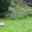 Two sheep graze on grass field near rocky mountain at rainy day — Stock Video