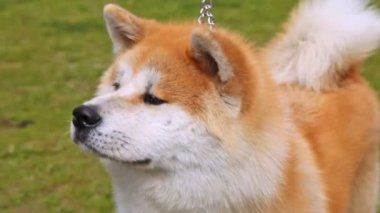 Dog of breed Shiba-inu stands on lawn with green grass — Stock Video