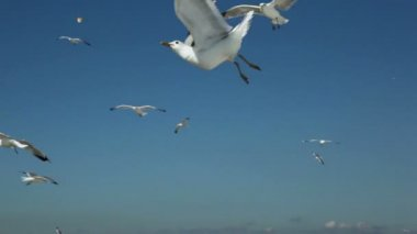 Pieces of bread thrown for several gulls flap and fly in sky — Stock Video