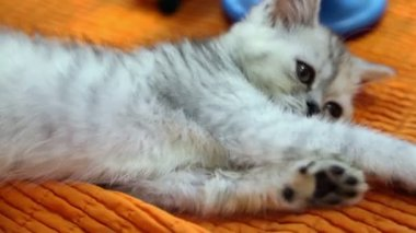 Silver color british kitten lies on orange cloth, closeup view — Stock Video