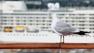 Mew sits on handrail in port with cruise ship at sunny day — Stock Video