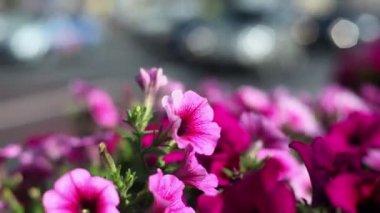 День движения города, фокус на цветы освещенный солнечным светом — Стоковое видео