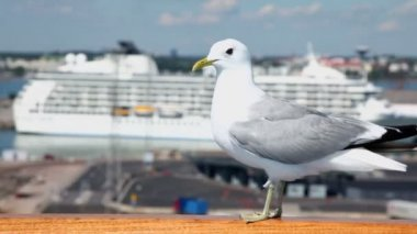 Gull sits on handrail in port with cruise liner at sunny day — Vidéo