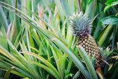 Ananas groeiende — Stockfoto