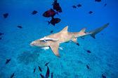 Lemon shark — Stock Photo