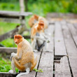 Proboscis monkeys — Foto de Stock