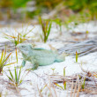 Rock iguana at Little Water Cay — Stock Photo