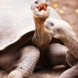 Galapagos giant tortoises - Stock Photo