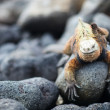Marine iguana and Galapagos finch - Stock Photo