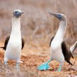 Blue footed booby mating dance - Stock fotografie